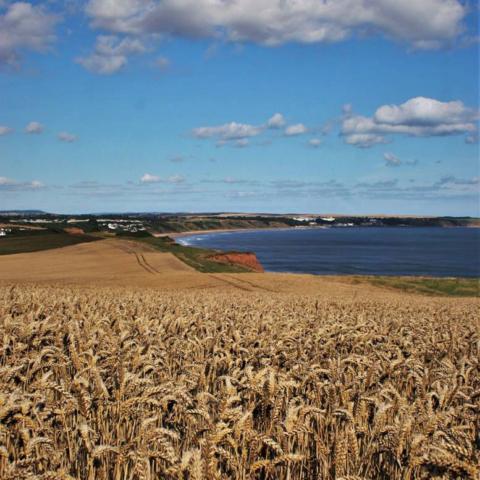 Corn Fields with a View Reighton Cliffs - Ian Nisbet
