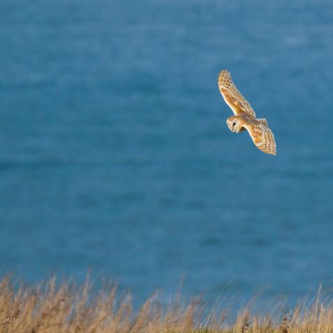 Barn owl - David Eccles