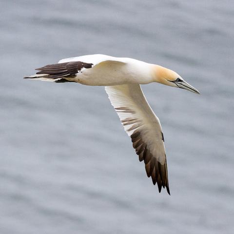 Seabirds at RSPB Bempton Cliffs - Sadie Ferriday