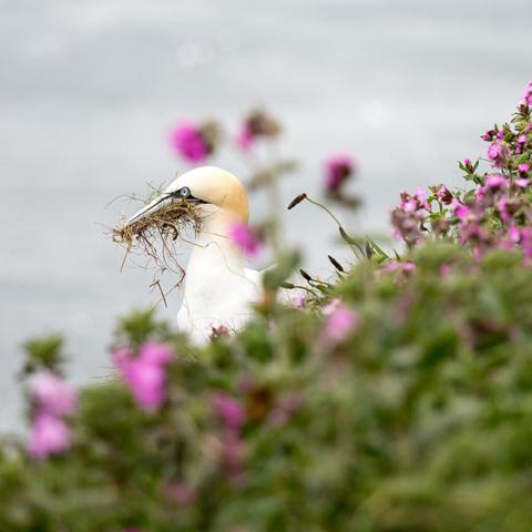 Seabirds nesting at RSBP Bempton Cliffs - Sadie Ferriday